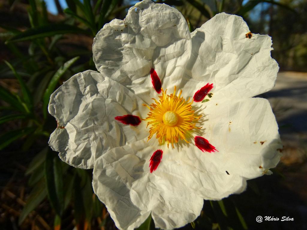 Águas Frias (Chaves) - ... flor de esteva ...