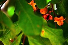 bayas naranjas (rosatifamadelrio) Tags: fave30