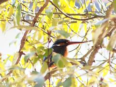 カワセミ (Polotaro) Tags: bird nature pen olympus 自然 zuiko 鳥 2月 ペン 野鳥 オリンパス カワセミ ズイコー fzuiko300mmf45 epm2