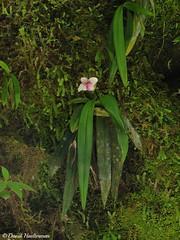 Phragmipedium andreettae floreciendo in situ (Distribucin: Colombia y Ecuador entre 500 y 1600 m snm), Putumayo, Colombia (David Haelterman) Tags: nature naturaleza wilderness america amrique americadelsur sudamerica southamerica amriquedusud tropicos tropiques tropics orchid orchide orqudea orchidaceae plant planta plante flor fleur flower