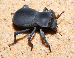 Asbolus papillosus (Robyn Waayers) Tags: california robyn kelsodunes tenebrionidae asboluspapillosus