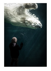 Polar Bear (Oieblikke) Tags: water swimming zoo movement polarbear atthezoo