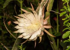 Night-Blooming Cereus (Reina de la noche) - Selenicereus spinulosus (J Centavo) Tags: de noche la reina cereus nightblooming selenicereus spinulosus