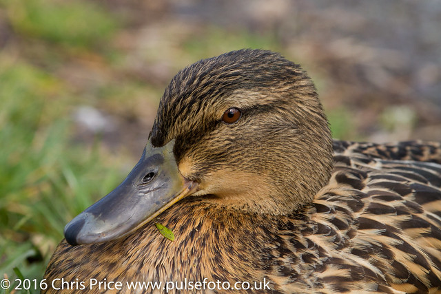 Mallard at Sherfield Pond