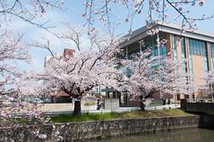 Sakura surrounded (Wunkai) Tags: japan 桜 cherryblossom sakura さくら 茨城 土浦 ibarakiken 新川 tsuchiurashi つくば国際大学高等学校