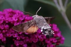 Humming-bird Hawk-moth (Hugo von Schreck) Tags: macro butterfly insect outdoor moth insekt schmetterling motte hummingbirdhawkmoth macroglossumstellatarum taubenschwnzchen greatphotographers fantasticnature tamronspaf180mmf35dildifmacro11 canoneos5dmarkiii onlythebestofnature hugovonschreck