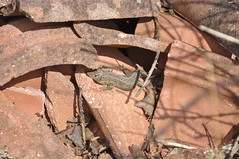 Sand Lizard (Lacerta agilis) (Sky and Yak) Tags: sand reptile lizard dorset basking herpetology lacerta lacertaagilis sandlizard reptilesandamphibians