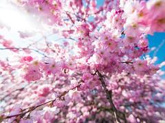 Blossoms (robdewinter) Tags: travel pink sun tree nature netherlands spring nikon blossom bees zeeland wemeldinge