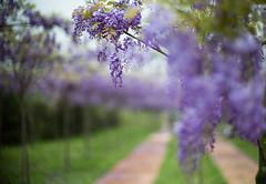 Wisteria park (Jill-Wang) Tags: leica flowers purple bokeh noctilux wisteria m9