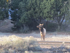 Elk pausing at the railroad tracks, Grand Canyon, Arizona (Paul McClure DC) Tags: arizona animals nationalpark grandcanyon elk coconinocounty march2016