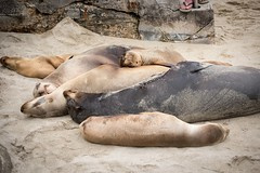 DSC_3769 (lauripiper) Tags: california beach sandiego lajolla sealion