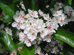 Crataegus x lavallei Herincq ex Lavall. 1880 (ROSACEAE) (helicongus) Tags: spain hybrid rosaceae crataegus jardínbotánicodeiturraran crataegusxlavellei