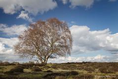 Cavenham Heath (Sylviane Moss) Tags: tree clouds suffolk spring solitary cavenhamheath