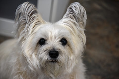 my Sweet Pea :-) (Dotsy McCurly) Tags: dog cute smile smiling happy nikon dof sweet happiness d750 pea cairnterrier ruffy