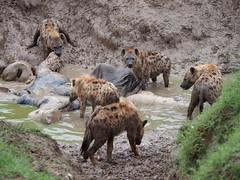 Hyenas eating a dead elephant (little_duckie) Tags: africa elephant zebra giraffe hippopotamus hyena zambia bigfive southluangwa southluangwanationalpark