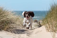 17/52 ZigZag 2016 (Flemming Andersen) Tags: dogs water animal seaside spring outdoor hund hurup lodbjerg 52weeksfordogs helligsvej hebojebi