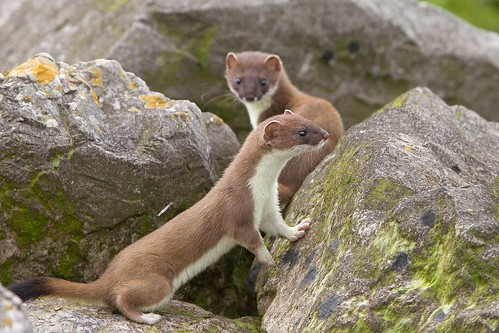 Two members of a Stoat family (explored)