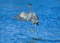 Yippee Skippy (vgphotoz) Tags: arizona bird nature water animal outdoors wings nikon ngc npc hop nikkor egret waterdance yippeeskippy marculescueugendreamsoflightportal vgphotoz