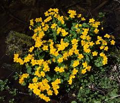 Voisine du ruisseau Neighbour of the stream (CHAM BT) Tags: wood flower green water fleur yellow jaune spring eau stream vert printemps bois branche ruisseau
