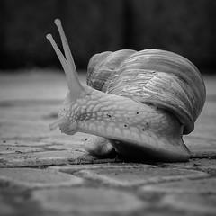 -interested- (CarSaBe) Tags: bw white black animal square lumix stones snail ground steine helix schnecke schwarz tier weinbergschnecke weis fhler pomatia