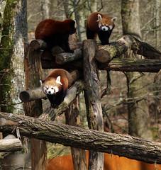 Pandas roux (Carahiah) Tags: pack trio groupe rhodes parc roux pandas saintecroix animalier