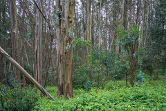 Eucalyptus Forest - Tilden Regional Park - Contra Costa County - California - 19 March 2016 (goatlockerguns) Tags: sanfrancisco california park county usa costa west nature oakland coast san view natural unitedstatesofamerica pablo reservoir bayarea eucalyptus eastbay concord contra regional tilden eucalyptustree