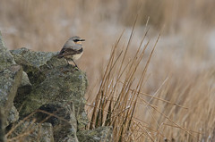 Greenland Wheatear (Tim Melling) Tags: district peak greenland moors wheatear oenantheoenantheleucorhoa leucorhoa timmelling