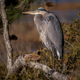 Great Blue Heron, Accomack County, VA [Explore 12 April 2016]