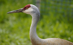 Graceful (charhedman) Tags: green bird bokeh crane feathers sandhillcrane reifelbirdsanctuary