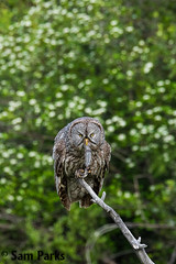 GG31 (Sam Parks Photography) Tags: trees wild summer usa bird nature animal forest rockies rodent spring wings woods nps wildlife unitedstatesofamerica ghost hunting feathers meadow aves raptor northamerica rockymountains hunter prey wyoming greatgrayowl phantom predator carnivorous naturalworld jacksonhole avian hunt tetonrange parkservice strigiformes grandtetonnationalpark predatory strixnebulosa predation gye mountainous carnivora strigidae gtnp verticalorientation greateryellowstoneecosystem carniore