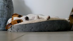 Cheeky Resting (John Metzner) Tags: dog dogs picture cheeky terrier jackrussell jackrussellterrier jackrussellterriers terrierfamily palmlakeresort palmlakeresortfernbay