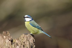 IMGP5533 Blue Tit, Lackford Lakes, March 2016 (bobchappell55) Tags: blue wild bird nature woodland suffolk tit wildlife lakes reserve trust damp lackford