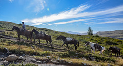 Horses in Torres del Paine (Pavla Frysova) Tags: chile park travel summer horses patagonia mountains animals del america trekking outdoors hiking south national transportation daytime uphill carry torres painey