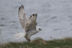 Gyrfalcon (Chris B@rlow) Tags: bird nature birds canon outdoors wildlife falcon westernisles birdofprey outerhebrides rspb gyrfalcon northuist britishbirds falcorusticolus ukbirds