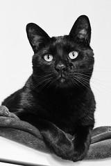 Negret (Jordi RT) Tags: black cat gat negre