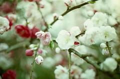 hanamomo (sencharlie) Tags: flower film canon ae1 filmcamera chimera hanamomo      hanapeach  chimeraplant