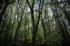 Foresta (sdrusna79) Tags: trees alberi forest ombre tuscany siena toscana piante paesaggio interno bosco foresta colledivaldelsa nikond7100 laintreccio
