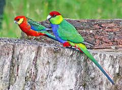 Male bonding (aussiegypsy_tropical FNQld) Tags: red wild male nature birds yellow gardens forest woodland denmark mixed backyard colorful king cheek wildlife tail australian parrot australia parakeet western wa colourful aussie broad rosella capped orchards birdlife broadtailed hookbill cheeked redcapped yellowcheeked platycerusicterotis purpureicephalusspurius stanleyrosella pileatedparakeet