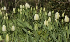 Tulpenband (thmlamp) Tags: tulips iso400 pflanze blume weiss vorgarten tulipa tulpe blumenzwiebel 1640sec 2000mm canoneos5dmarkiii 2jahr ef70200mmf28lisiiusm 140 tulpenband