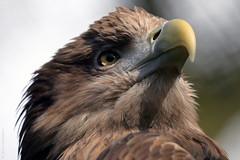Haliaeetus albicilla (JGOM) Tags: bird netherlands animal zoo eagle arnhem nederland burgers burgerszoo birdofprey dierentuin dierenpark whitetailedeagle haliaeetusalbicilla burgersdierenpark