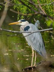 Graureiher / Grey heron (MaikeJanina) Tags: bird heron grayheron greyheron birdwatchers reiher fischreiher graureiher