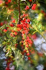 Chinese yew  (MelindaChan ^..^) Tags: china plant flower bokeh guilin mel yew melinda guangxi    chanmelmel melindachan   chineseyew
