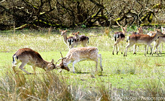 Bucks Rutting (crhobbs89) Tags: new nature forest fight stag wildlife doe deer buck macho fallow rutting bolderwood