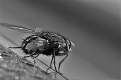Fly (heiko.moser) Tags: bw macro blancoynegro nature animal insect mono tiere fly noiretblanc natur natura nb sw monochrom makro schwarzweiss insekt nero animale nahaufnahme tier insetto fliege einfarbig schwarzweis blackwihte entdecken heikomoser