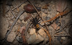 Notasteron lawlessi? (dustaway) Tags: arthropoda arachnida araneae araneomorphae antspider genus australianspiders clagirabaforestreserve coomeravalley sequeensland queensland australia nature zodariidae spinne notasteron notasteronlawlessi