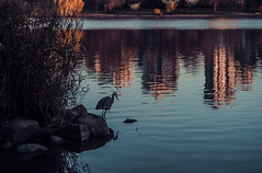Blue Heron Sunset (YuccaYellow) Tags: park blue sunset orange brown lake canada west reflection bird heron nature water silhouette rock vancouver dark gold pond nikon bc teal lagoon end