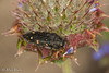 Acmaeodera dolorosa (aliceinwl1) Tags: acmaeodera acmaeoderadolorosa acmaeoderini arthropod arthropoda buprestidae buprestoidea ca california coleoptera insect insecta metallicwoodboringbeetle polycestinae polyphaga santabarbaracounty serieselateriformia v beetle dolorosa locnoone viseveryone