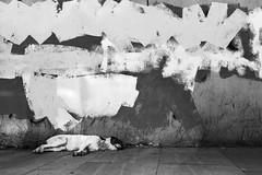 IMG_5576.JPG (esintu) Tags: sleeping dog wall paint sleep istanbul stray asleep sariyer