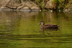 Pacific Black Duck (Luke6876) Tags: bird animal duck wildlife australianwildlife pacificblackduck