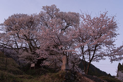 49Butsuryuji Temple (anglo10) Tags: sunset japan cherry temple
